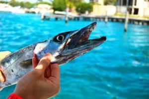 peche-barracuda