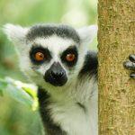 lémurien la faune nature primate sauvage
