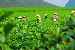 Thé Tan Cuong au Vietnam