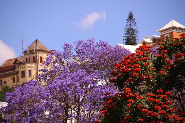 Des jacaranda à Antananarivo à Madagascar