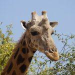 Girafe Niger