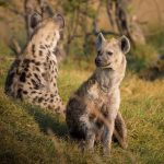 Hyena Ethiopie