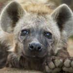 Hyenes Harare Afrique