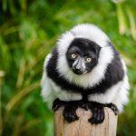 Madagascar tourisme lemurien
