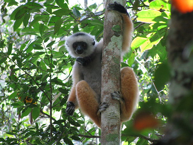 Parc national Andasibe Mantadia Madagascar